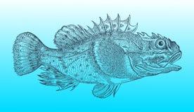 Scazzone marino dello Shorthorn o scorpione di mare breve-spined nella vista di profilo dopo un ill storico o d'annata dell'intag illustrazione di stock