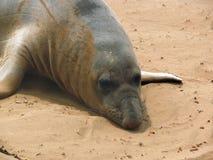 Sceau d'éléphant Images libres de droits
