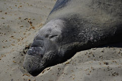 Sceau d'éléphant de sommeil Image libre de droits