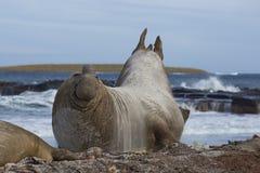 Sceau d'éléphant méridional mâle Photographie stock
