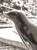 Sceau dans le zoo de Budapest Photo libre de droits