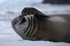 Sceau de crabier laugning à l'extérieur fort, l'Antarctique Images stock