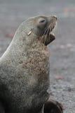 Sceau de fourrure antarctique écorçant, Antarctique Photos libres de droits