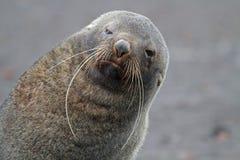 Sceau de fourrure antarctique avec de longs favoris, Antarctique Photos stock