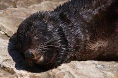 Sceau de fourrure brun de sommeil Photos libres de droits