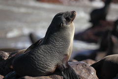 Sceau de fourrure de cap, côte squelettique, Namibie Image libre de droits