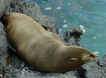 Sceau de fourrure de Galapagos Images libres de droits