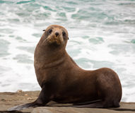 Sceau de fourrure de la Nouvelle Zélande Photographie stock