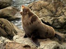 Sceau de fourrure de la Nouvelle Zélande Photos libres de droits