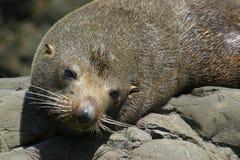 Sceau de fourrure de la Nouvelle Zélande Photographie stock libre de droits