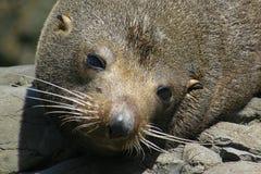 Sceau de fourrure de la Nouvelle Zélande - haut proche Photos libres de droits