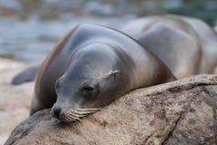 Sceau de mer Photographie stock libre de droits