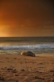 Sceau de moine d'Hawaï Photo stock