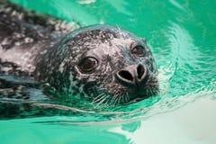 Sceau de natation Photo stock