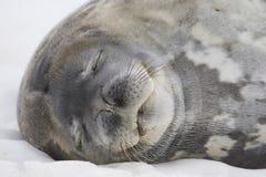 Sceau de sommeil Weddell, Antarctique Photographie stock libre de droits