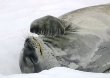 Sceau de Weddel Images libres de droits