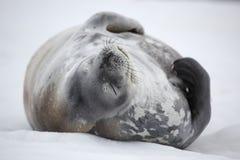 Sceau de Weddell faisant une sieste, Antarctique Photo libre de droits