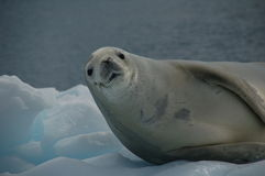 Sceau de Weddell sur la glace Images libres de droits