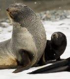 Sceau et chiot de fourrure antarctiques Photo libre de droits