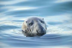 Sceau gris. photo libre de droits