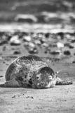 Sceau sur une plage Images libres de droits