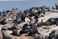 Sceaux dans le compartiment Capetown de Hout Photographie stock