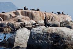 Sceaux dans le compartiment Capetown de Hout photos stock