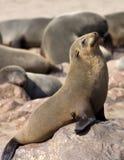 Sceaux de fourrure de capuchon - Namibie Photos libres de droits