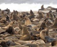 Sceaux de fourrure de capuchon - Namibie image libre de droits