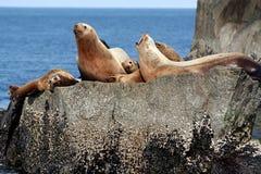 Sceaux de l'Alaska images stock