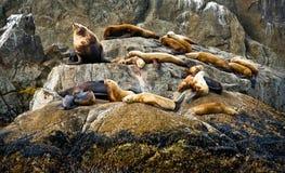 Sceaux de l'Alaska Photos libres de droits
