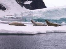 Sceaux en Antarctique Image stock