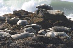 Sceaux sur la côte de l'océan pacifique Photographie stock libre de droits