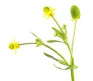 sceleratus Aipo-com folhas do ranúnculo do botão de ouro isolado no fundo branco Planta venenosa usada na medicina tradicional Imagem de Stock