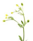 sceleratus Aipo-com folhas do ranúnculo do botão de ouro isolado no fundo branco Planta venenosa usada na medicina tradicional Fotos de Stock