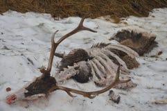 Scelett animal de la nieve de la naturaleza Fotos de archivo libres de regalías
