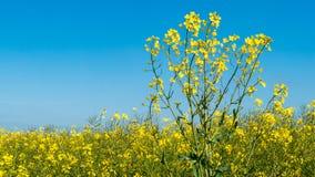 Scelga i fiori della violenza davanti ad un cielo blu del campo della violenza Fotografia Stock Libera da Diritti