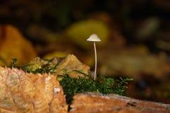 Scelga i piccoli funghi o fungo del fungo con muschio Immagine Stock