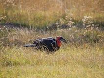 Scelga il bucero a terra del sud africano maschio solo che si alimenta nell'alta erba, safari in Moremi NP, Botswana Immagini Stock Libere da Diritti