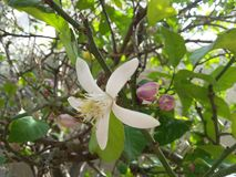 Scelga il fiore bianco del limone sull'albero verde alla stagione primaverile Immagini Stock