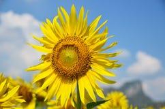 Scelga il fiore di Sun immagini stock