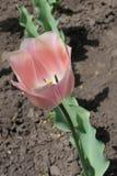 Scelga il fiore rosa sottomesso del tulipano in primavera immagine stock libera da diritti