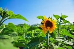 Scelga il girasole di fioritura nel campo di verde nel giorno di estate soleggiato meraviglioso a fondo di cielo blu Immagini Stock