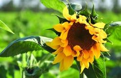 Scelga il girasole di fioritura nel campo di verde nel giorno di estate soleggiato meraviglioso a fondo di cielo blu Immagine Stock Libera da Diritti