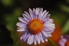 Scelga il wildflower alpino lavanda-tinto dell'aster Immagini Stock Libere da Diritti