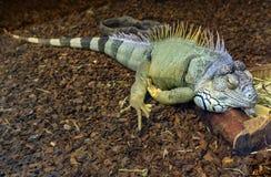 Scelga l'iguana verde conosciuta anche come iguana americana in zoologico immagine stock