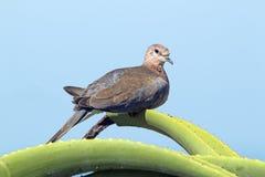 Scelga la colomba appollaiata sulla pianta appuntita verde dell'aloe Fotografie Stock Libere da Diritti