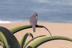 Scelga la colomba appollaiata sulla pianta appuntita verde dell'aloe Immagine Stock Libera da Diritti