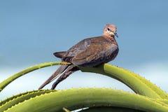 Scelga la colomba appollaiata sulla pianta appuntita verde dell'aloe Fotografia Stock Libera da Diritti
