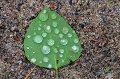 Scelga la foglia verde del pioppo con le gocce di acqua su  immagini stock